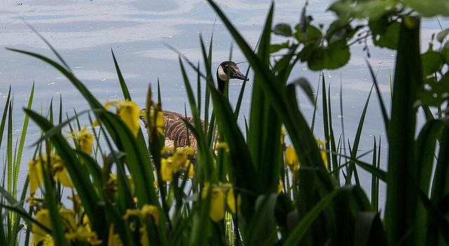 20140520 3495VRAw [D~DU] Kanadagans (Branta canadensis), Sumpf-Schwertlilie (Iris pseudacorus), 6-Seenplatte, Duisburg-Wedau
