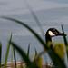 20140520 3494VRAw [D~DU] Kanadagans (Branta canadensis), 6-Seenplatte, Duisburg-Wedau