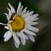 20140520 3493VRAw [D~DU] Margerite (Leucanthemum vulgare),  Ohrwurm ???, 6-Seenplatte, DU-Wedau