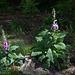 20140520 3492VRAw [D~DU] Roter Fingerhut (Digitalis purpurea), 6-Seenplatte, DU-Wedau