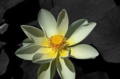 FREJUS: Une fleur de lotus (Nelumbo nucifera Gaertn.)