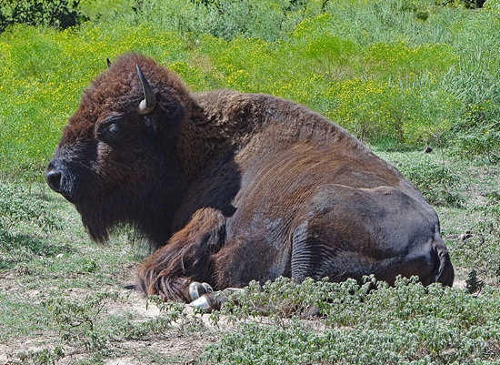 43 The Bison of the Chickasaw State Park