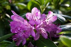 20140520 3418VRAw [D~DU] Rhododendron, 6-Seenplatte, DU-Wedau
