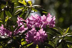 20140520 3417VRAw [D~DU] Rhododendron, 6-Seenplatte, DU-Wedau