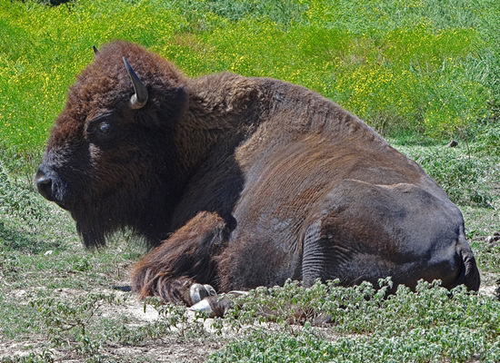 44 The Bison of the Chickasaw State Park