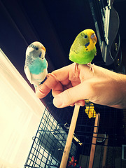 2 parakeets sitting on me