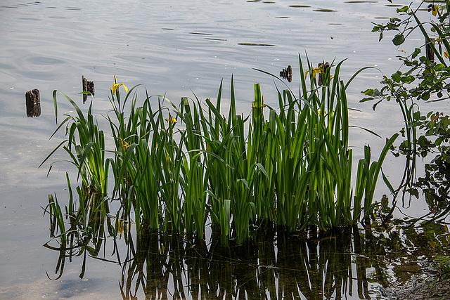 20140520 3413VRAw [D~DU] Sumpf-Schwertlilie (Irsi pseudacorus), 6-Seenplatte, DU-Wedau