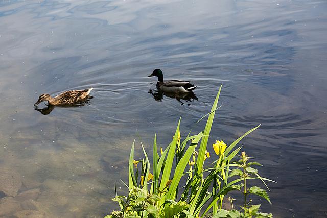 20140520 3412VRAw [D~DU] Sumpf-Schwertlilie (Iris pseudacorus), Stockente (Anas platyrhynchos), 6-Seenplatte, Duisburg-Wedau