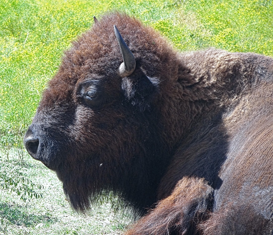 The Bison of the Chickasaw State Park