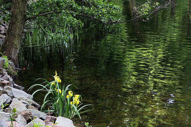 20140520 3409VRAw [D~DU] Sumpf-Schwertlilie (Iris pseudacorus), 6-Seenplatte, DU-Wedau