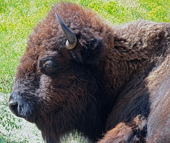 47 The Bison of the Chickasaw State Park