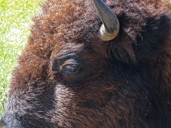 48  The Bison of the Chickasaw State Park