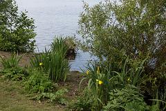 20140520 3401RAw [D~DU] Sumpf-Schwertlilie (Iris pseudacorus), 6-Seenplatte, DU-Wedau