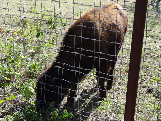 49 The Bison of the Chickasaw State Park