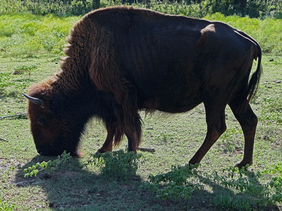 51 The Bison of the Chickasaw State Park