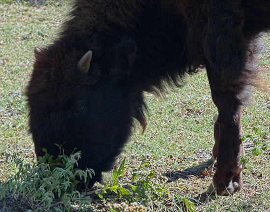 53 The Bison of the Chickasaw State Park