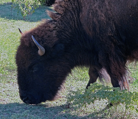 57 The Bison of the Chickasaw State Park