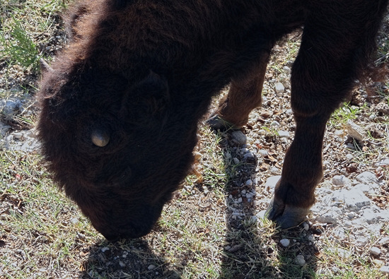 59 The Bison of the Chickasaw State Park