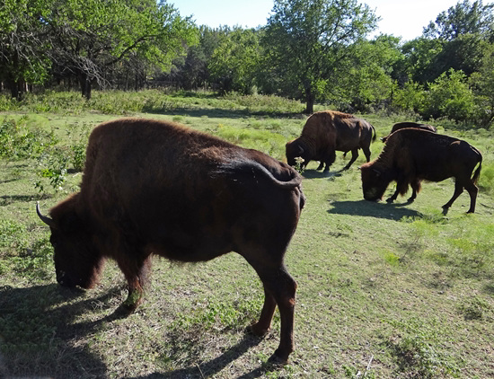 60 The Bison of the Chickasaw State Park