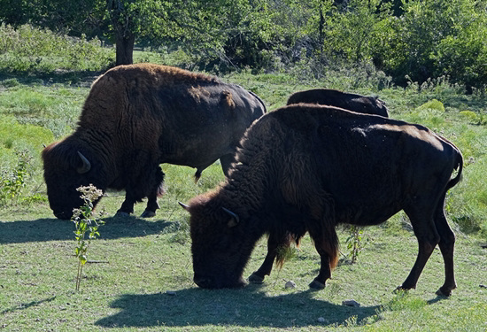 61 The Bison of the Chickasaw State Park