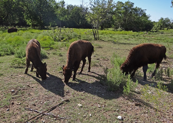 62 The Bison of the Chickasaw State Park