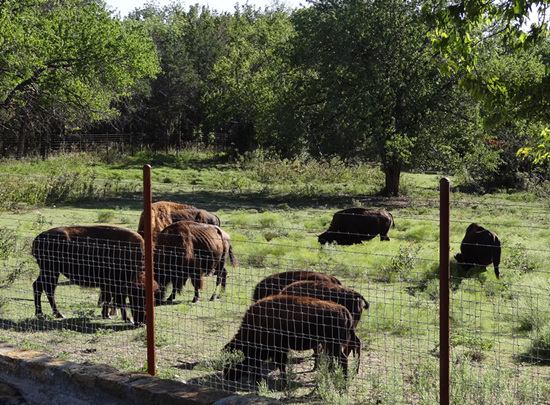 63 The Bison of the Chickasaw State Park