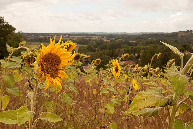 Sunflowers on the hill above Belpech