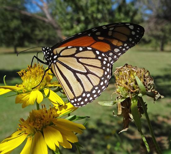 183 Monarch butterfly (Danaus plexippus) 30-9-2013