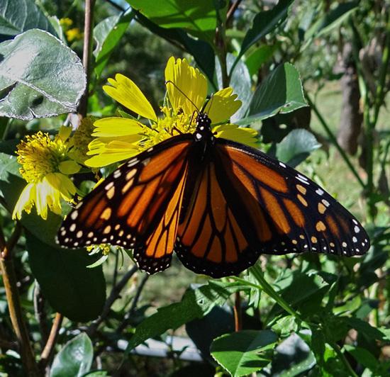 184 Monarch butterfly (Danaus plexippus) 30-9-2013
