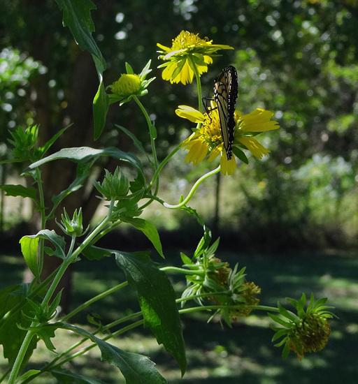 186 Monarch butterfly (Danaus plexippus) 30-9-2013