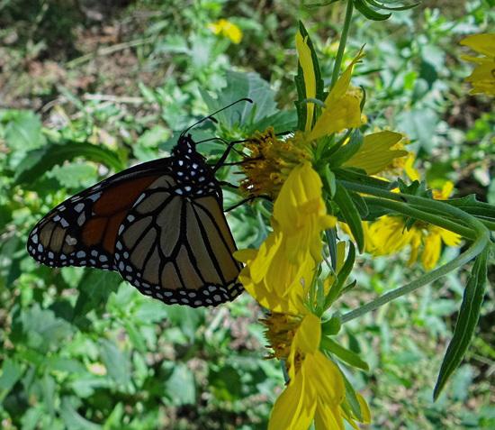 187 Monarch butterfly (Danaus plexippus) 30-9-2013