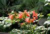 Funchal. Afrikanische Tulpenbaum (Spathodea campanulata)  ©UdoSm