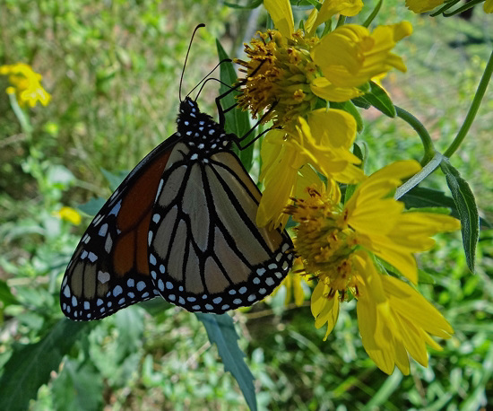 188 Monarch butterfly (Danaus plexippus) 30-9-2013