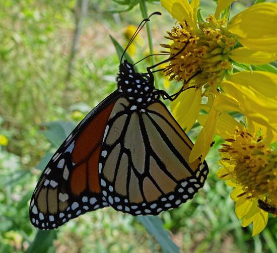 189 Monarch butterfly (Danaus plexippus) 30-9-2013