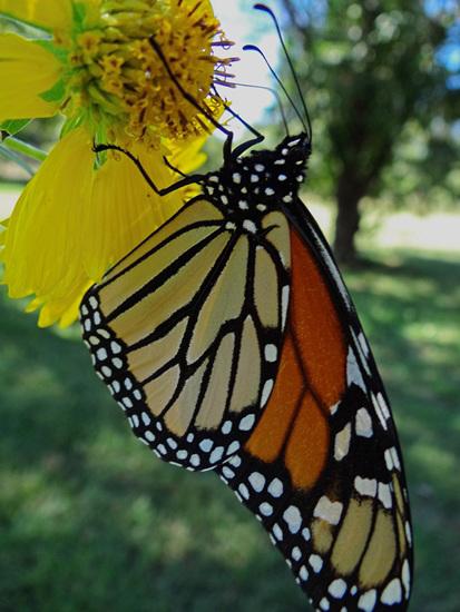 190 Monarch butterfly (Danaus plexippus) 30-9-2013