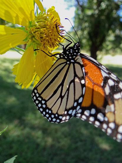 191 Monarch butterfly (Danaus plexippus) 30-9-2013