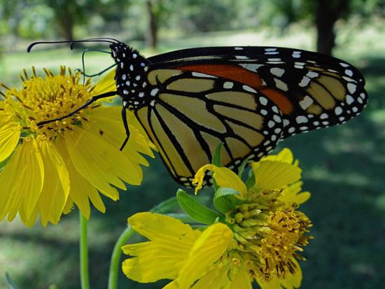 192 Monarch butterfly (Danaus plexippus) 30-9-2013