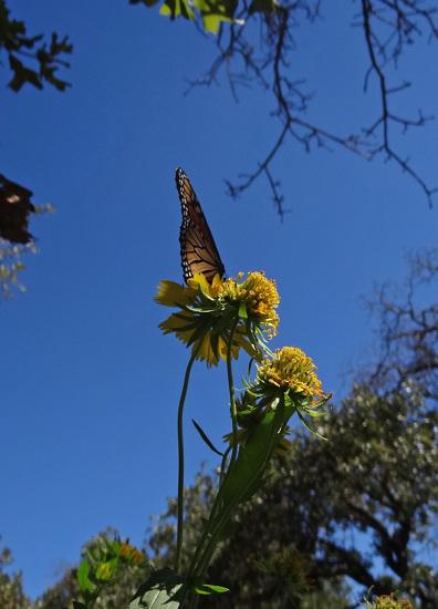 193 Monarch butterfly (Danaus plexippus) 30-9-2013