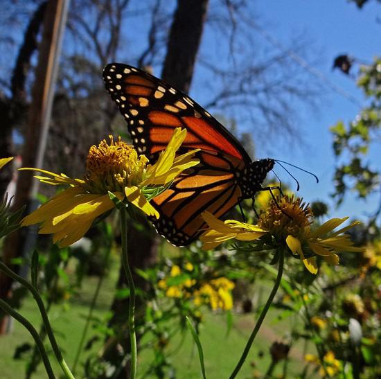 194 Monarch butterfly (Danaus plexippus) 30-9-2013