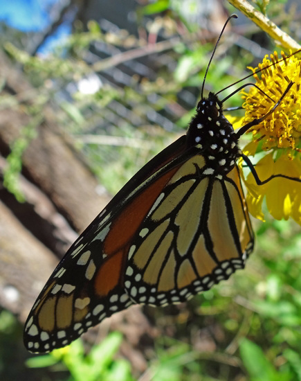 198 Monarch butterfly (Danaus plexippus) 30-9-2013