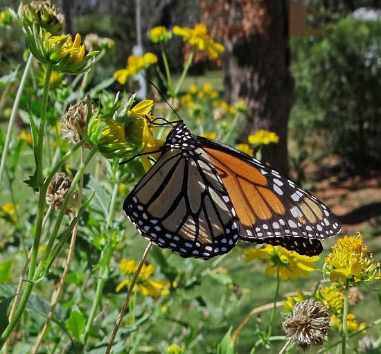 200 Monarch butterfly (Danaus plexippus) 30-9-2013
