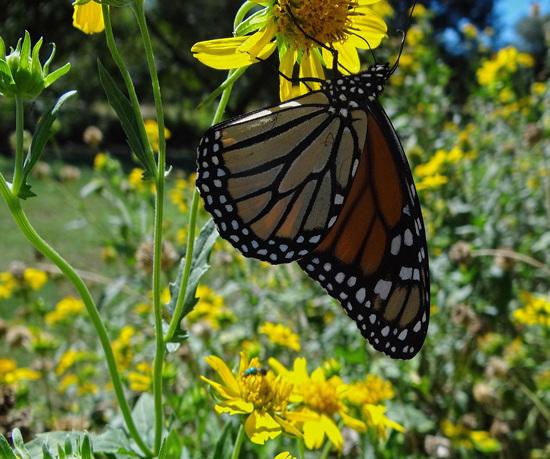 201 Monarch butterfly (Danaus plexippus) 30-9-2013