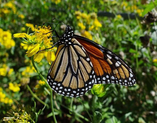 Monarch butterfly (Danaus plexippus) 30-9-2013