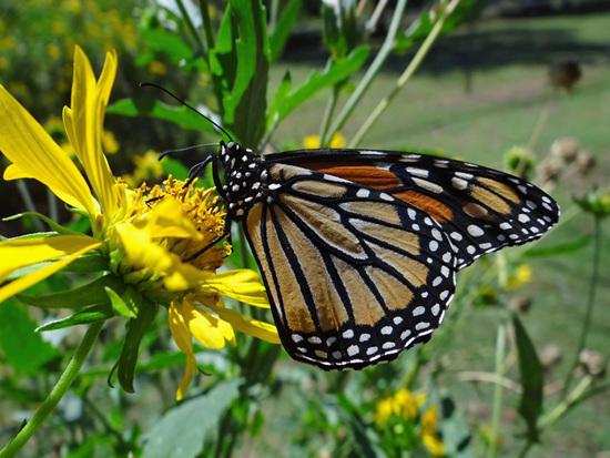 1 Monarch butterfly (Danaus plexippus) 1-10-2013