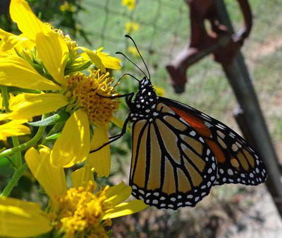2 Monarch butterfly (Danaus plexippus) 1-10-2013