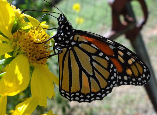 3 Monarch butterfly (Danaus plexippus) 1-10-2013