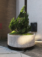 Lost age of this surface application idea for large civic juniper planters.