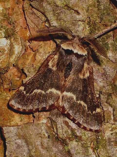 1631 Poecilocampa populi (December Moth)