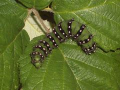 1643 Saturnia pavonia (Emperor Moth)