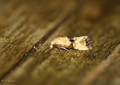 Eupoecilia angustana - Marbled Conch